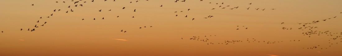Darvak vonulása napnyugtakor