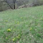 Virágzik a tavaszi hérics a Kisgyőr feletti Elő-Galyán