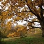 A Debreceni Nagyerdő legidősebb tölgyei a park jellegű részeken maradtak fenn, mint pl. a Botanikus kertben