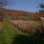 Gyalogművelésű szőlőskert, mögötte a Galya karsztbokorerdője
