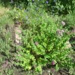 Gyógynövényes kert